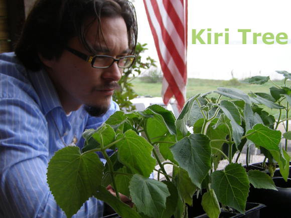 The Kiri Tree and The United States of America listed as non - invasive in California and Hawaii!